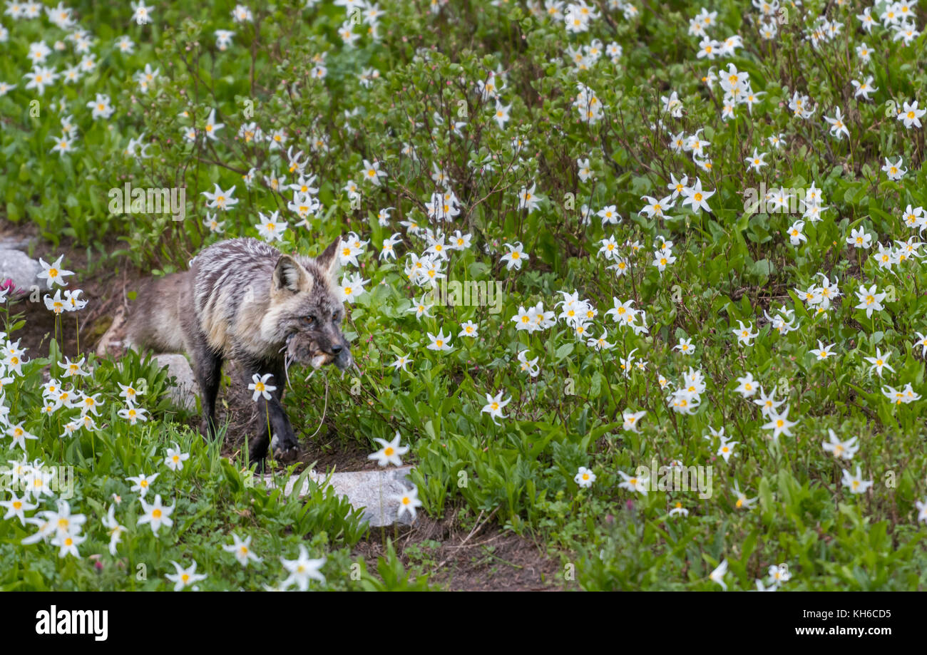Cascade Red Fox with Fresh Kill in Field of Avalanche Lilies - Stock Image