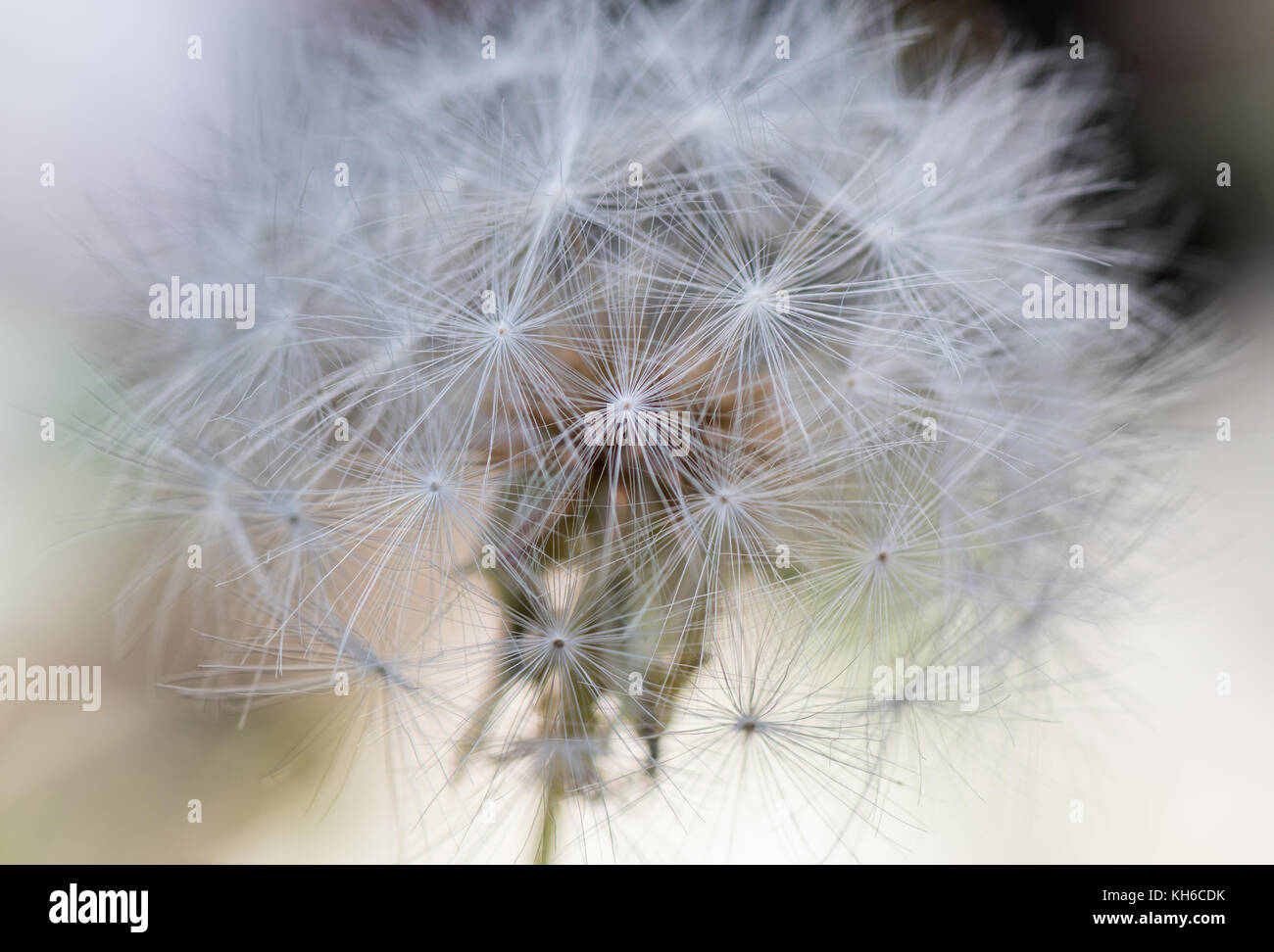 Close up of Large Dandelion Plant with selective focus technique - Stock Image