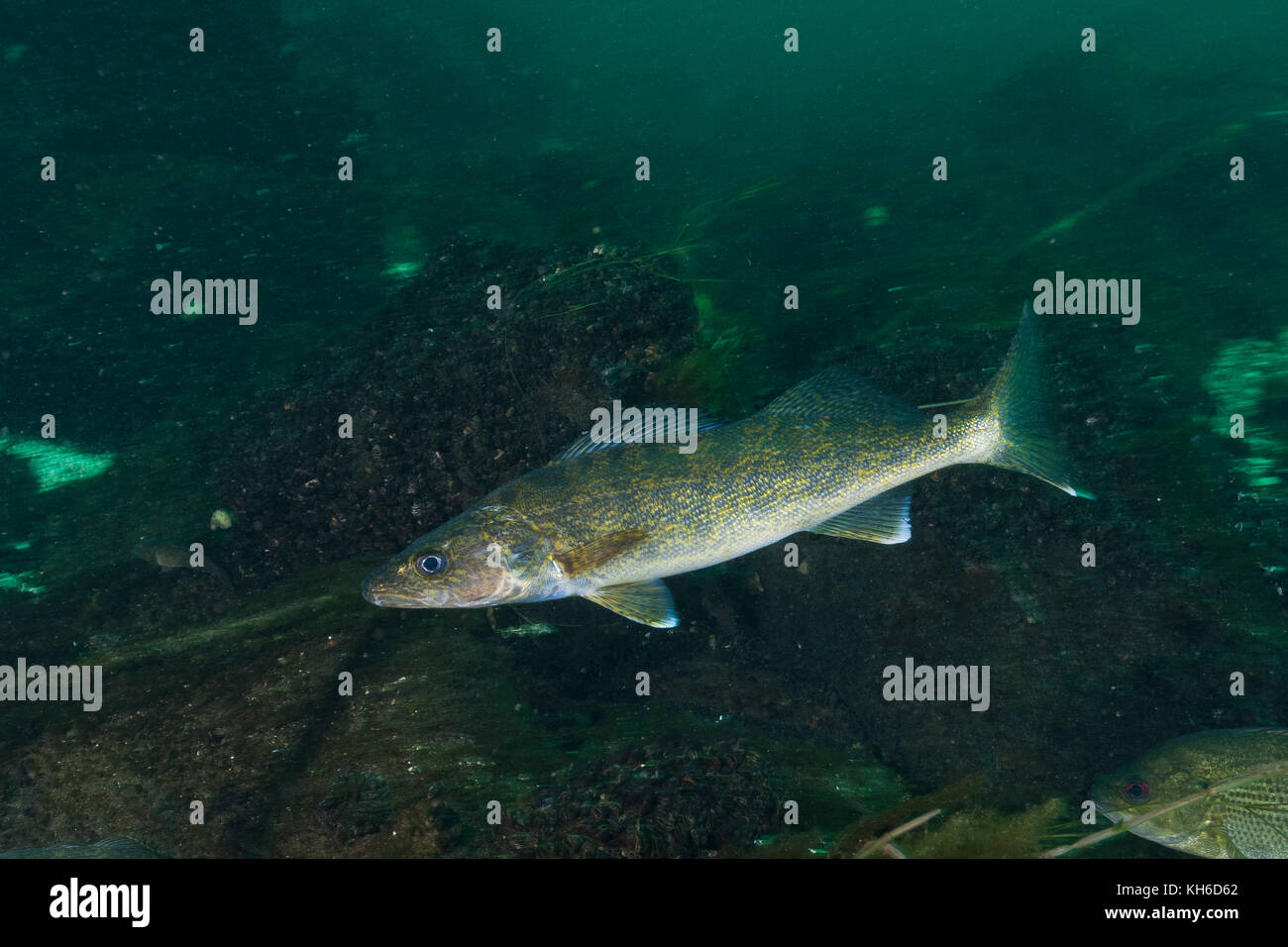 Walleye stock photos walleye stock images alamy for St lawrence river fishing