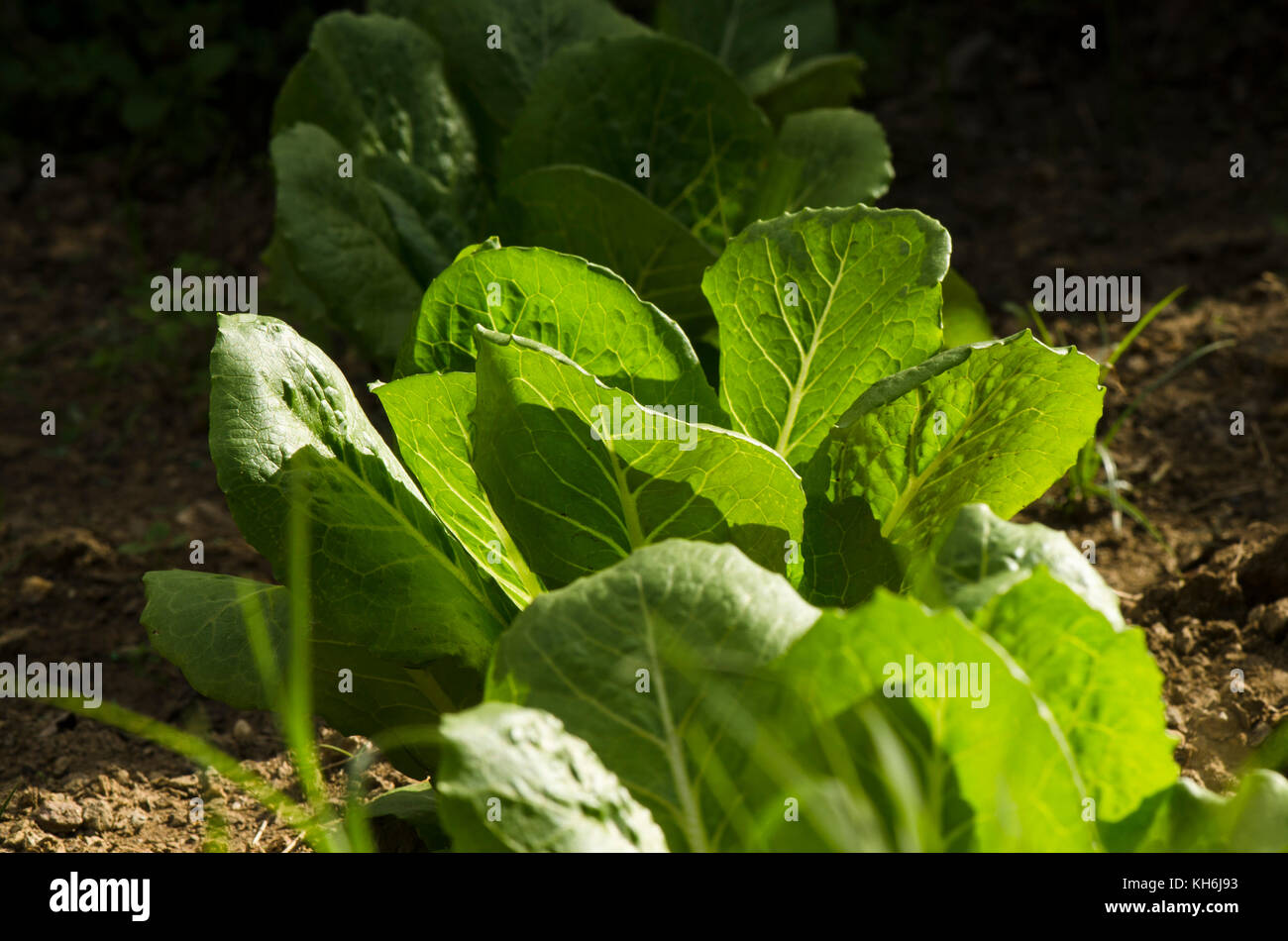 how to grow romaine lettuce in water