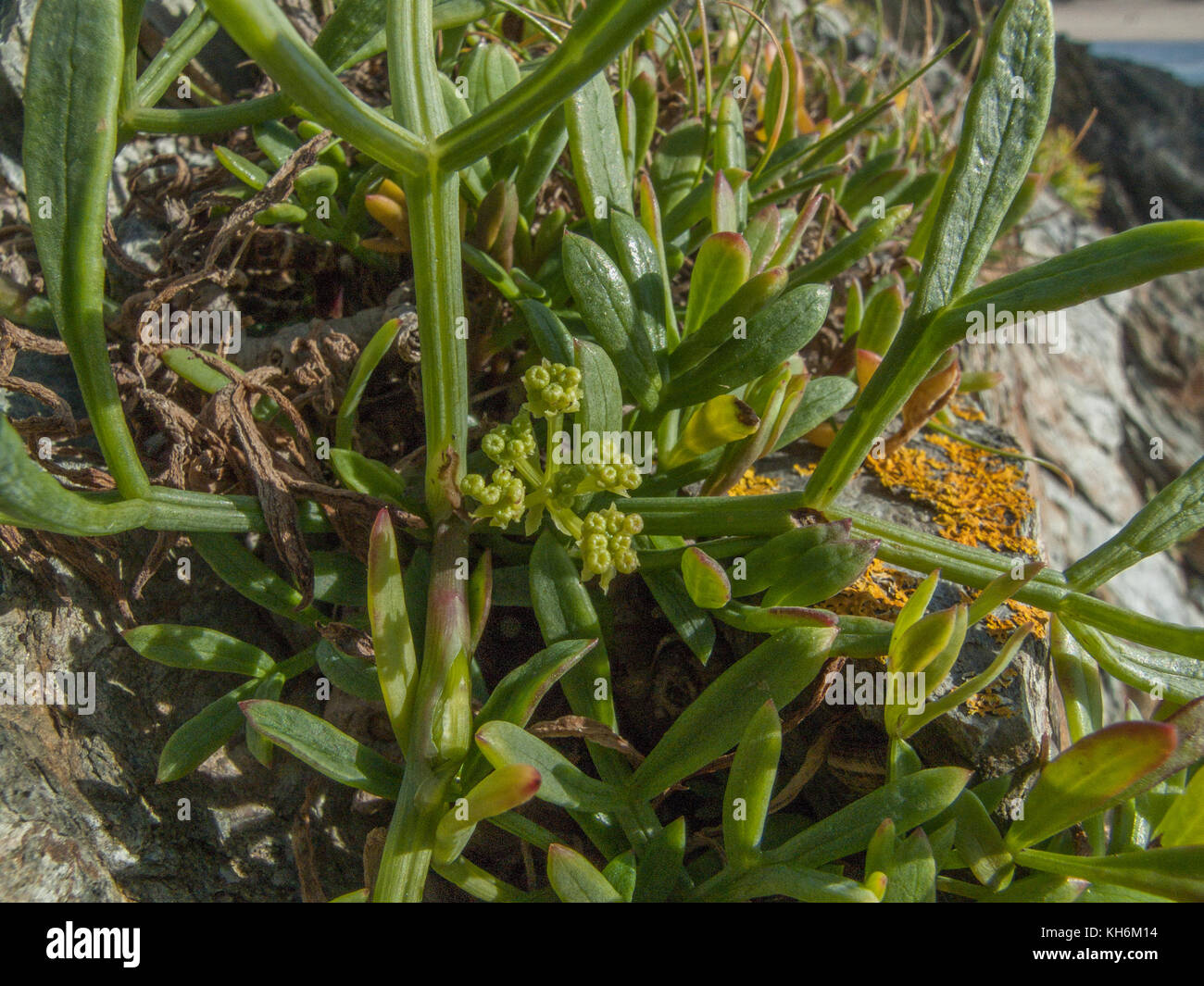 Example of Rock Samphire (Crithmum maritimum) growing wild. Samphire is foraged from the wild and pickled for kitchen - Stock Image