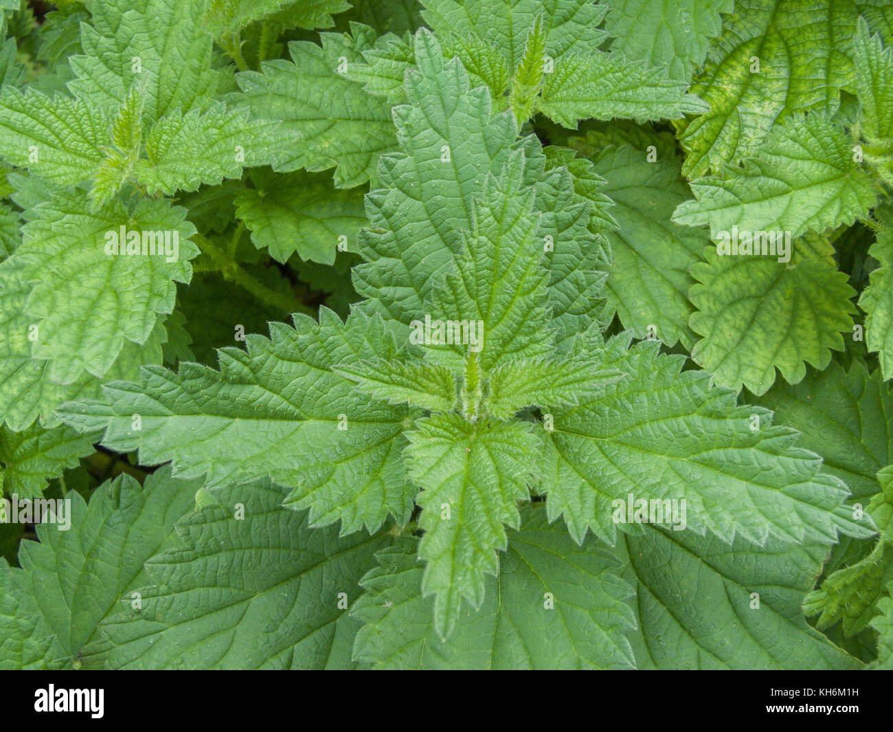 Common Stinging Nettle (Urtica dioica) - used as a foraged wild vegetable green once cooked, and was also used in - Stock Image