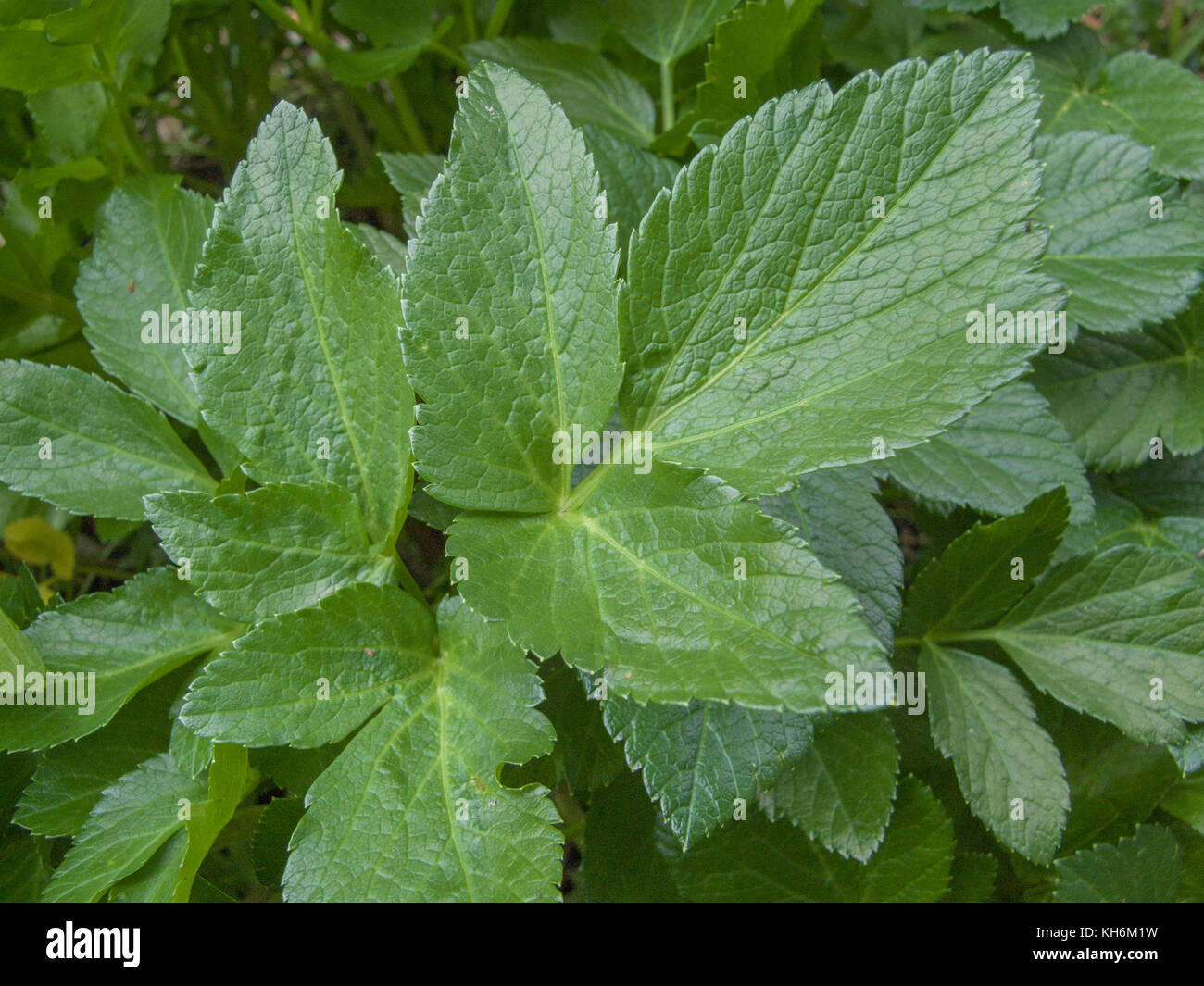 Alexanders (Smyrnium olusatrum) - a biennial plant which is foraged for its leaves and roots which may be eaten - Stock Image
