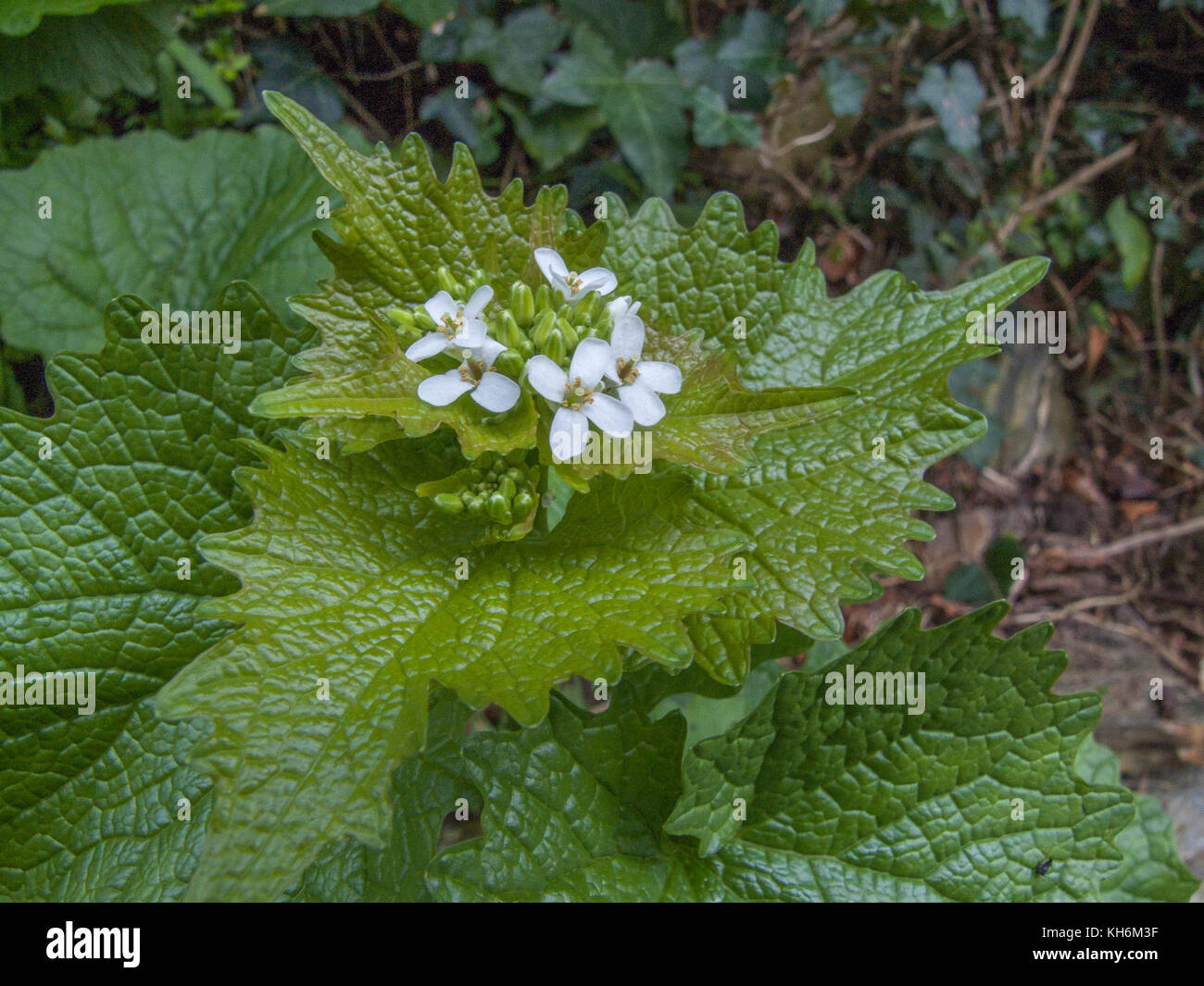 Example of the foraged plant Hedge Garlic (Alliaria petiolata) growing in a hedgerow. Leaves have a mild garlic - Stock Image