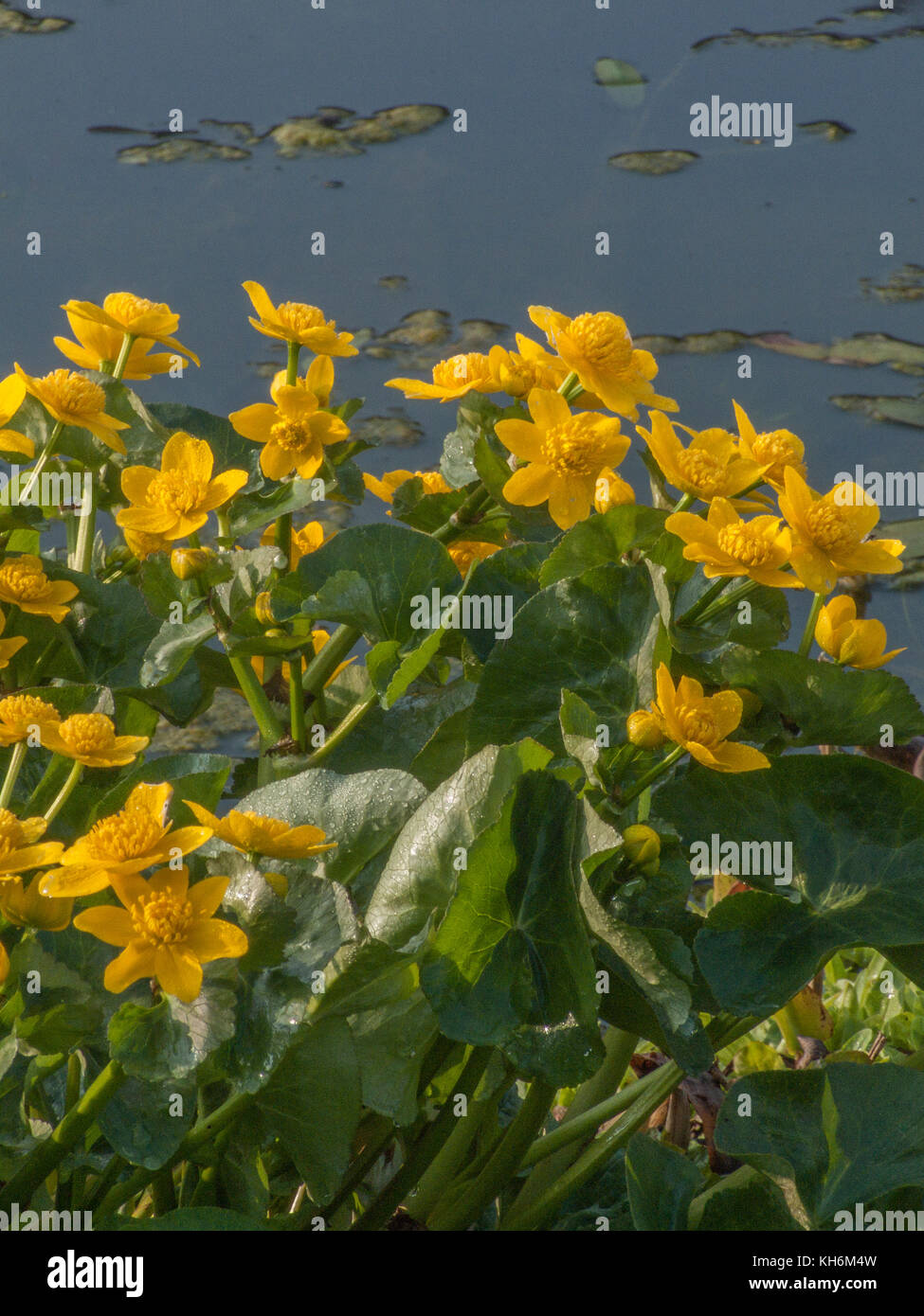 Yellow flowers and foliage of Marsh Marigold (Caltha palustris) in bright sunlight - Stock Image