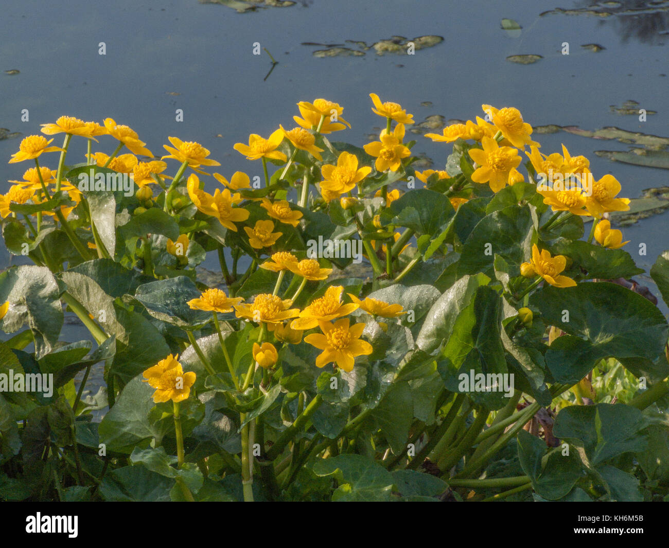 Yellow flowers and foliage of Marsh Marigold (Caltha palustris) in bright sunlight. In English was also iknown as - Stock Image