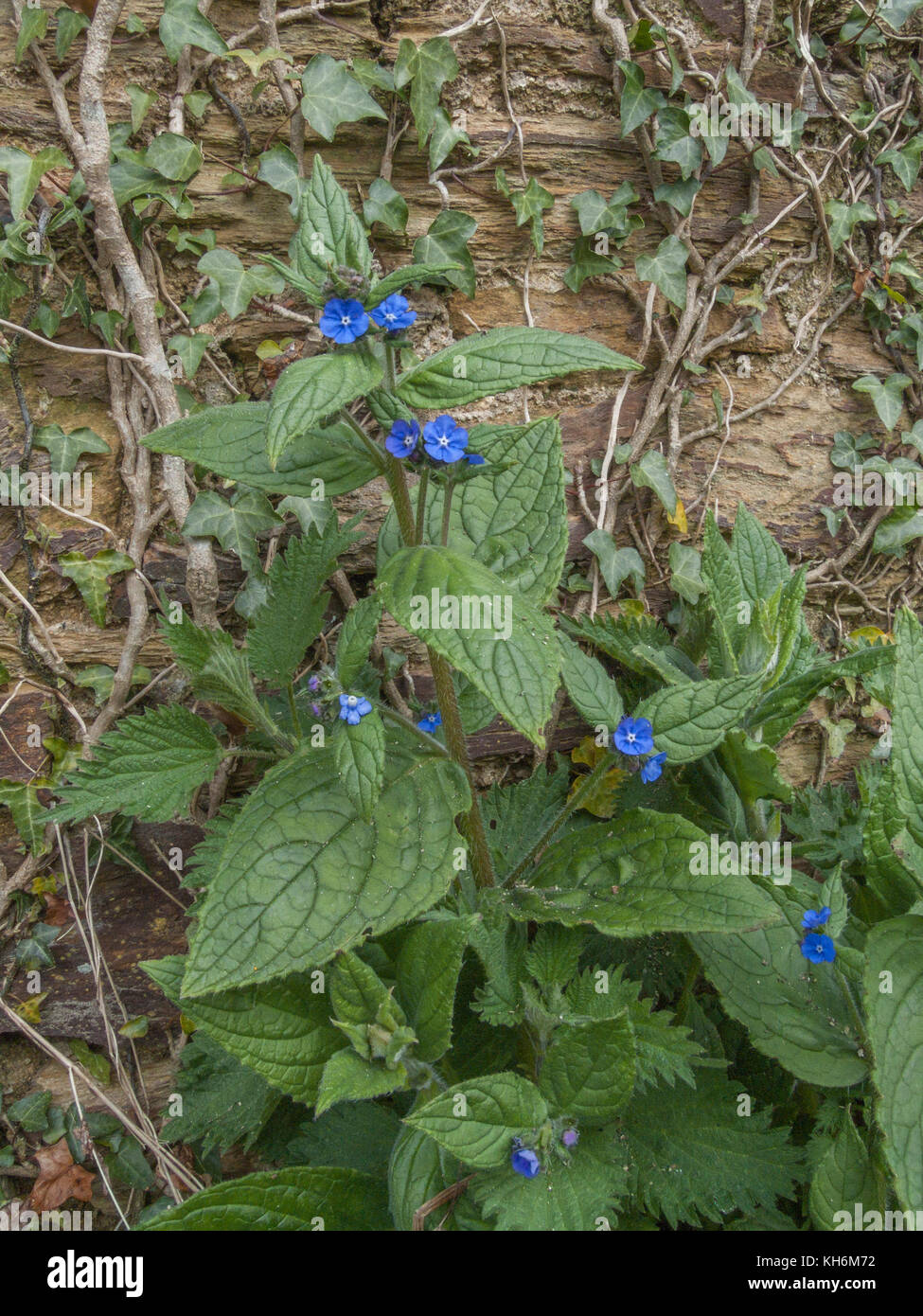 Example of Green Alkanet (Pentaglottis sempervirens) growing next to a farm wall. - Stock Image
