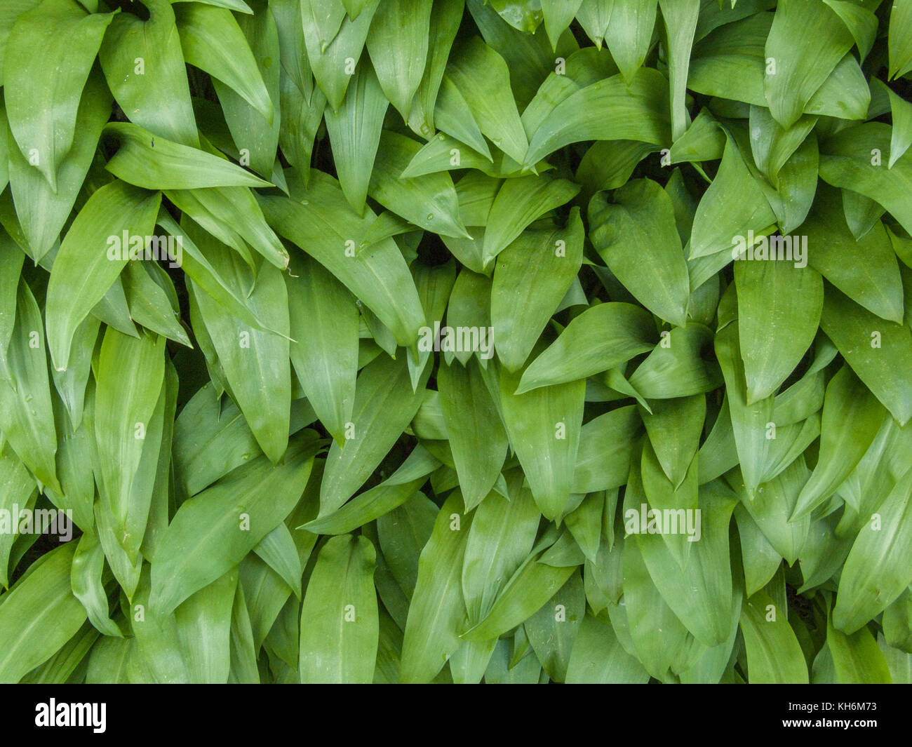Foliage of wild garlic known as Ramsons (Allium ursinum) growing in the wild. Foraged leaves make an excellent kitchen - Stock Image