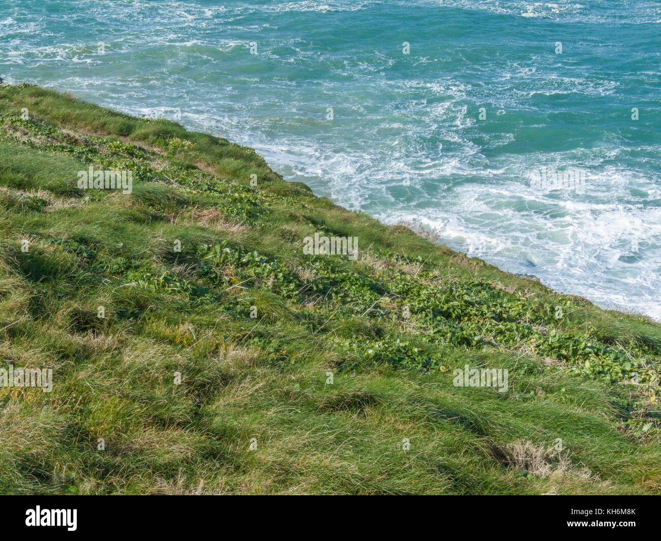 Patch of sprawling young Sea-beet (Beta vulgaris ssp maritima) on cliff top overlooking sea. Foraged leaves make - Stock Image