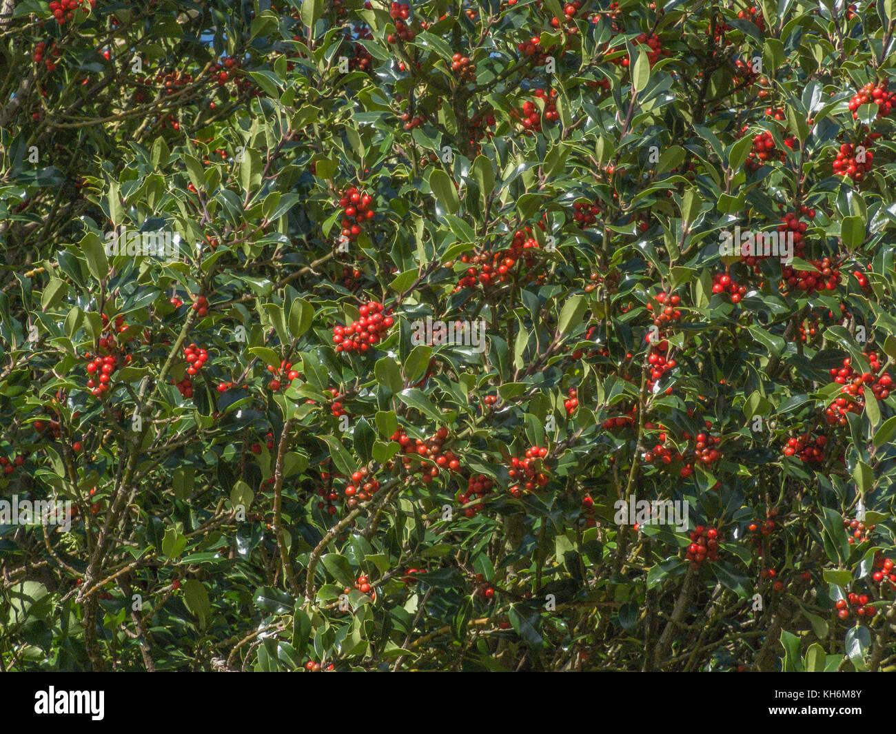 Red berries on Holly (Ilex aquifolium) bush. - Stock Image