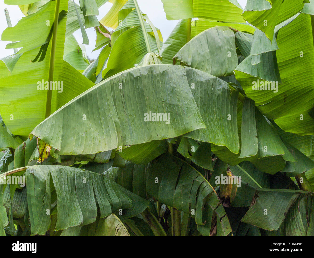Leaves of a banana palm. Not sure if this one is the traditionally raised species Musa acuminata. - Stock Image