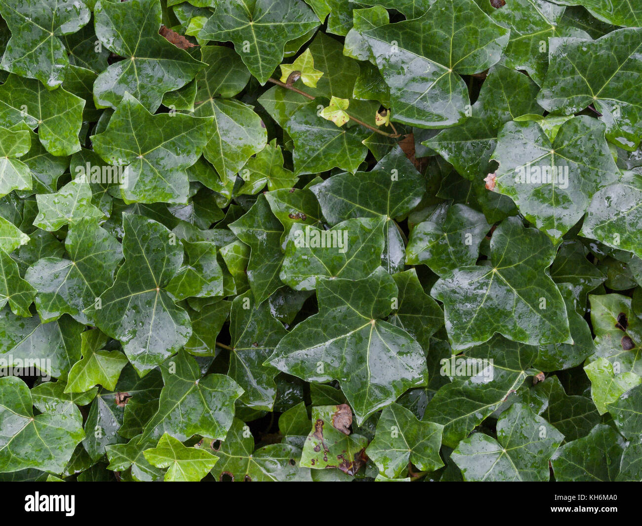 Cluster of wet Ivy (Hedera helix) leaves,. - Stock Image