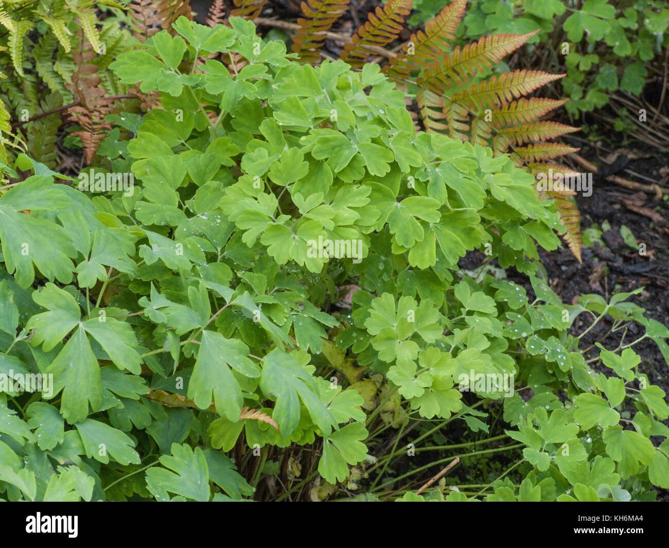 Foliage of Columbine (Aquilegia vulgaris). - Stock Image