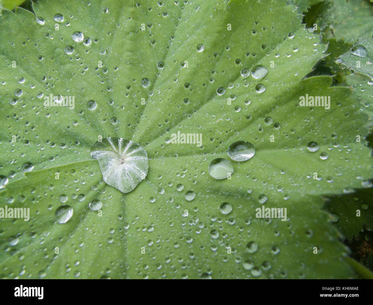 Water drops on the leaf of Lady's Mantle (Alchemilla vulgaris). - Stock Image