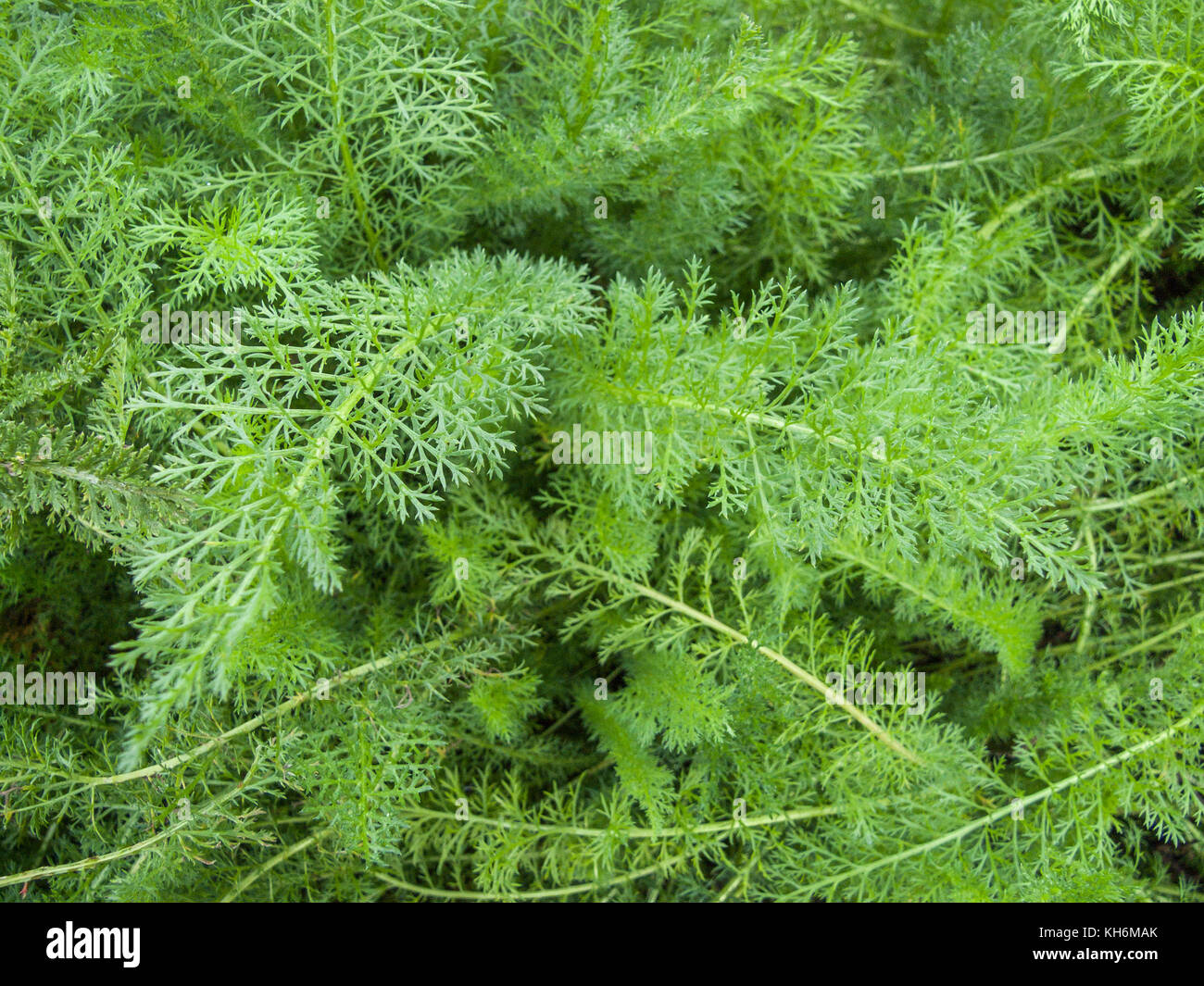 Frothy young foliage of the woundherb known as Yarrow (Achillea millefolium). - Stock Image