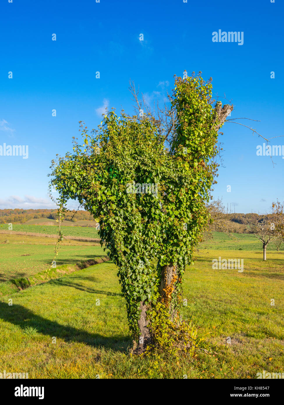 Dying apple tree from Creeping Ivy growth - France. - Stock Image
