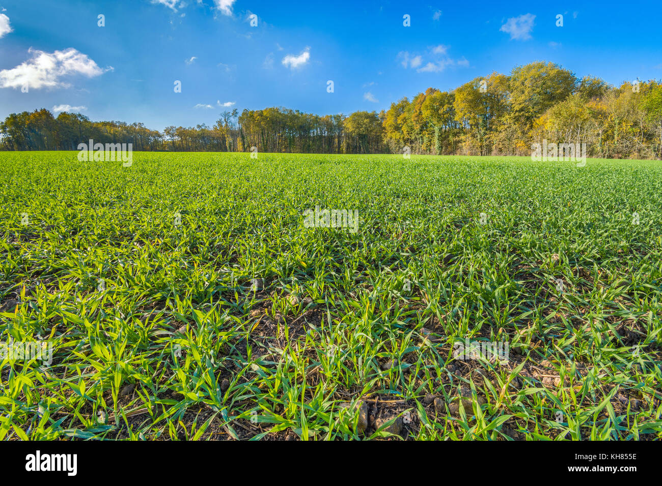 Early winter wheat on farmland - France. - Stock Image