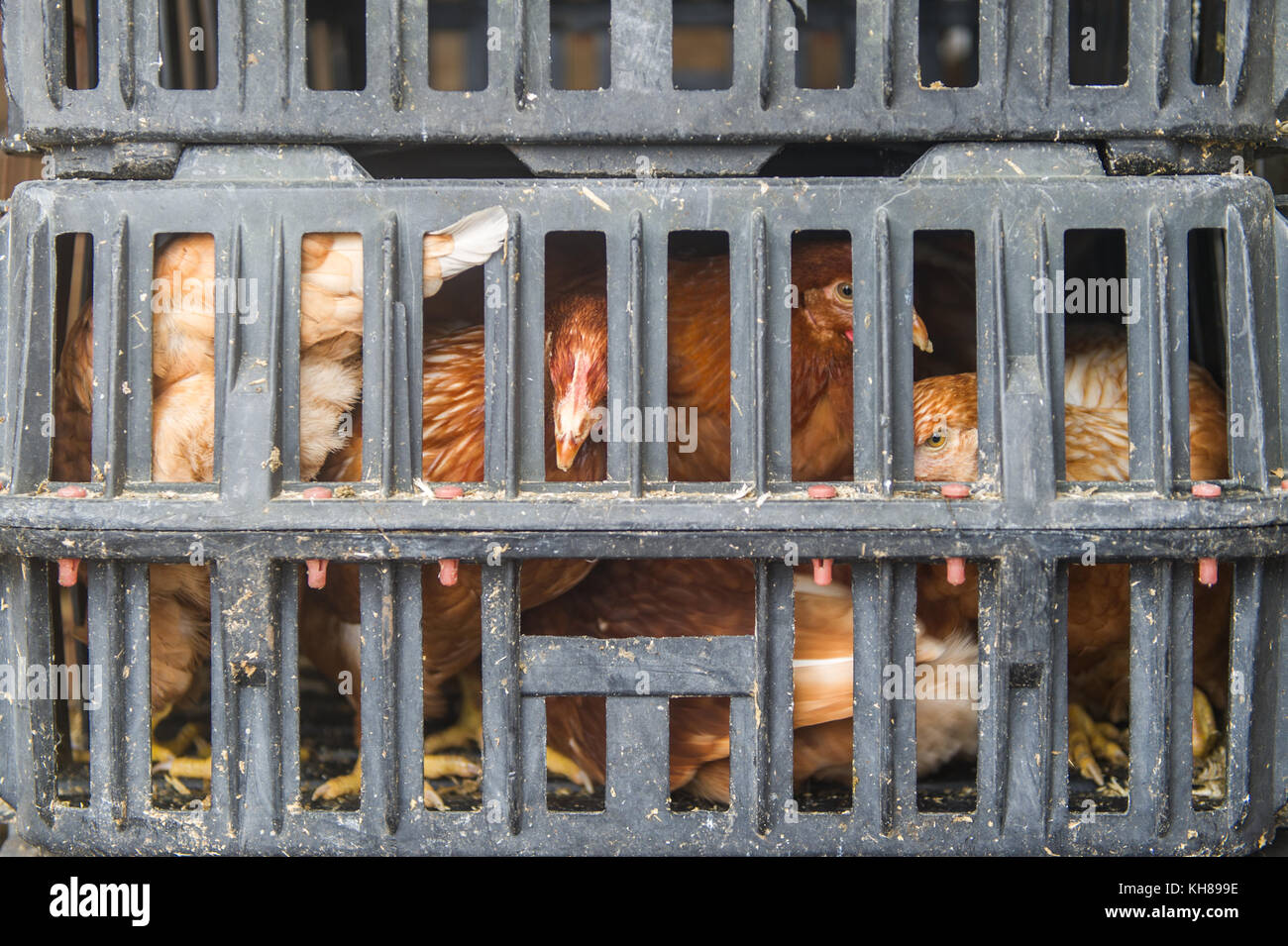 hens-in-a-grey-crate-ready-for-sale-at-s