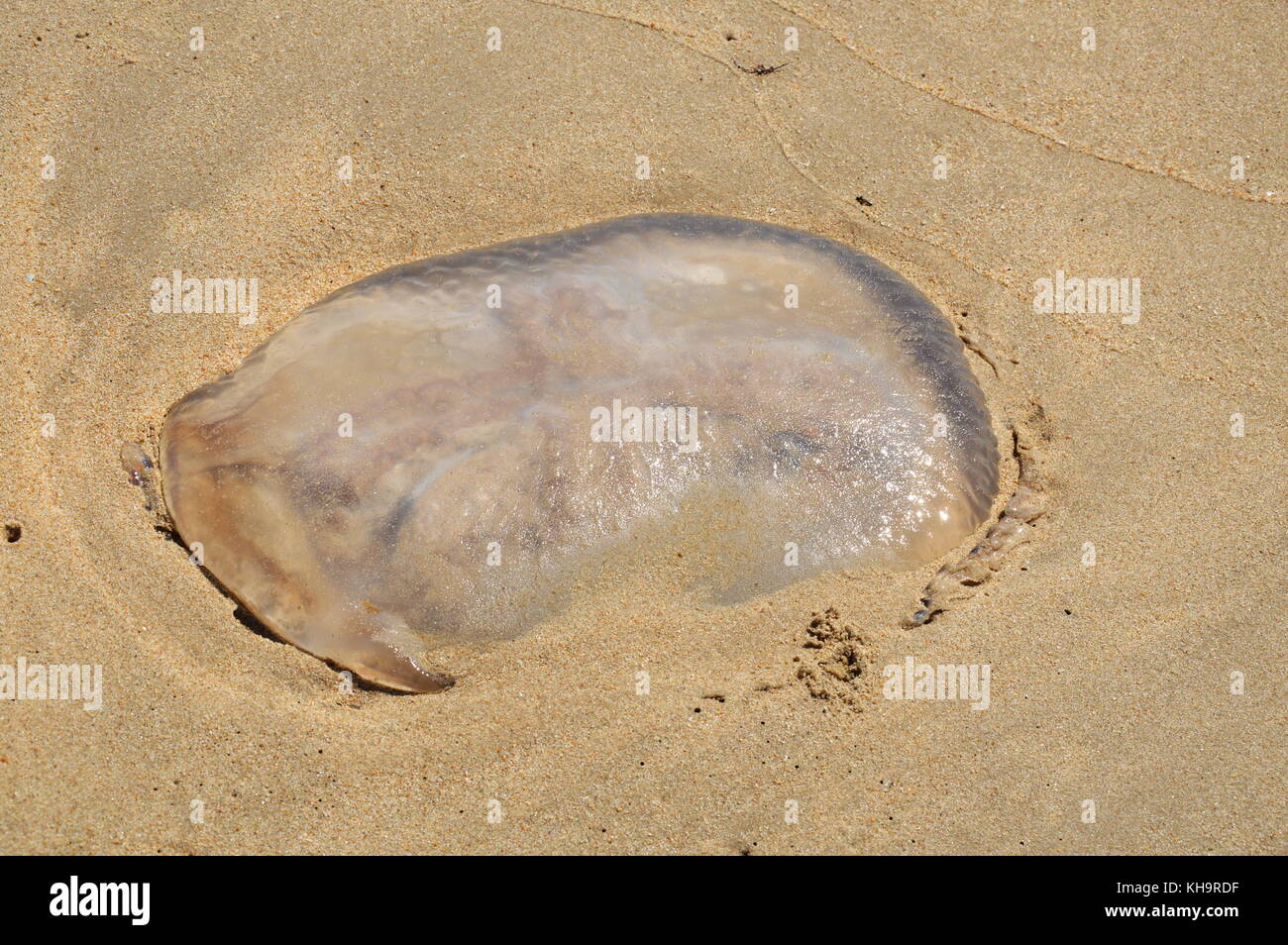 jellyfish strand on the beach - Stock Image