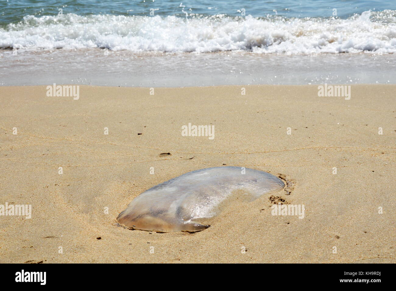jellyfish strand on the beach - Stock Image