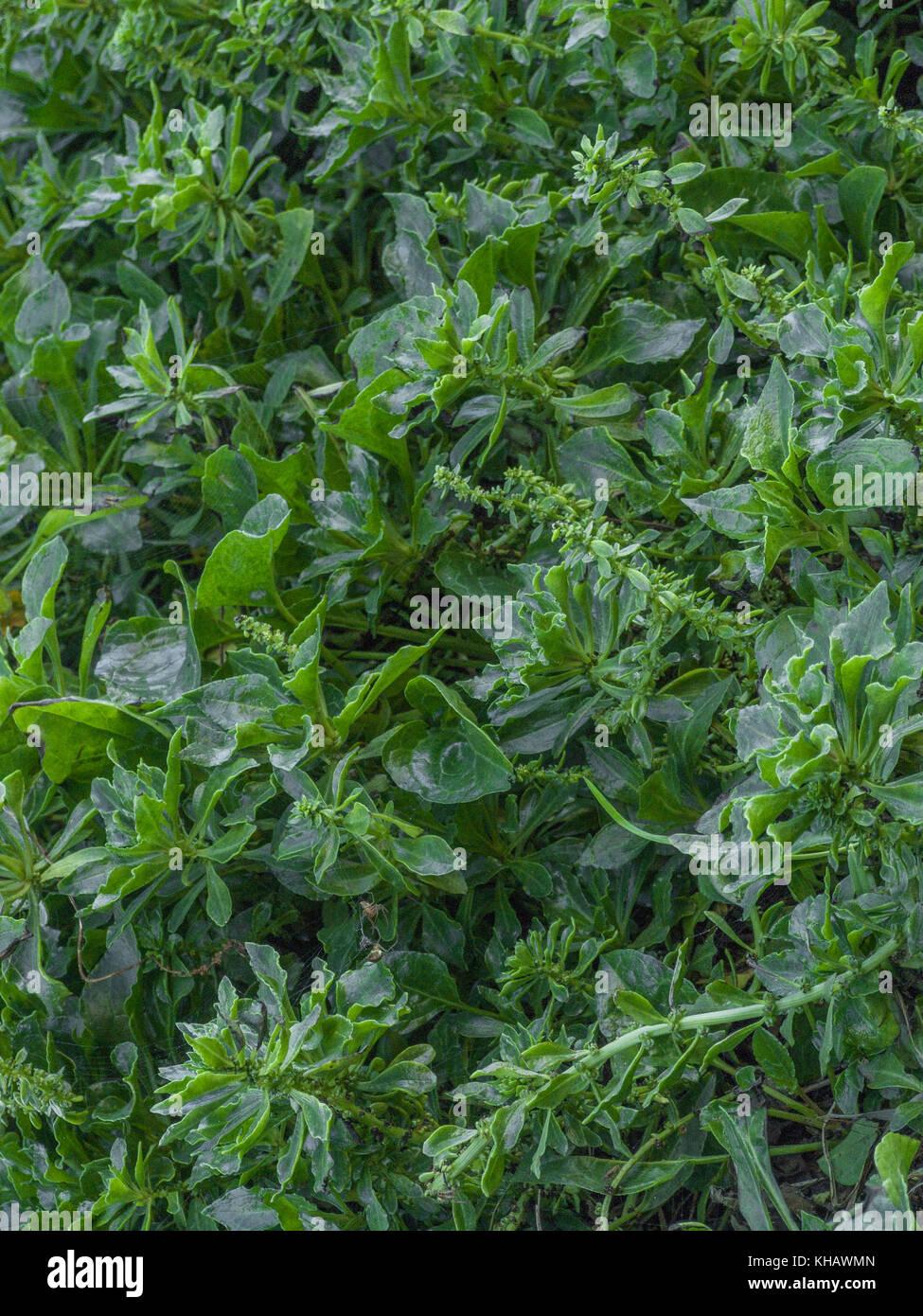 Clump of Sea-beet (Beta vulgaris ssp. maritima) growing on the coastline of Cornwall. - Stock Image