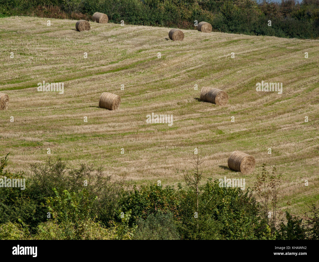 Round hay bales littered across a harvested cereal crop (UK). - Stock Image