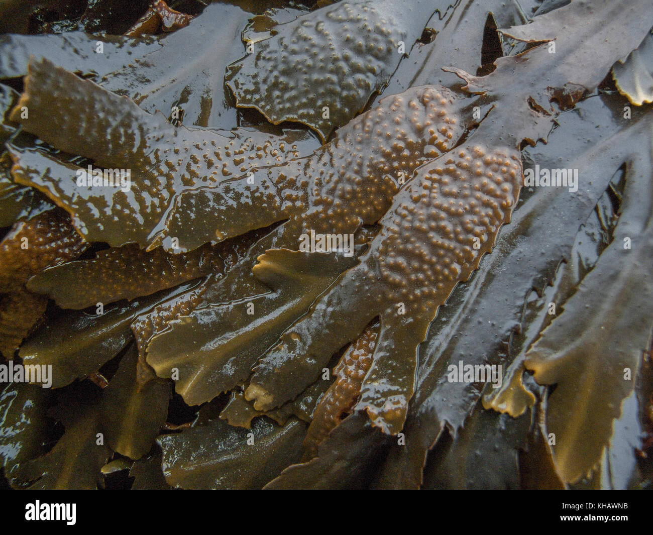 Frond tips of the seaweed Fucus serratus - various called Serrated Wrack, Toothed Wrack, Saw Wrack. - Stock Image