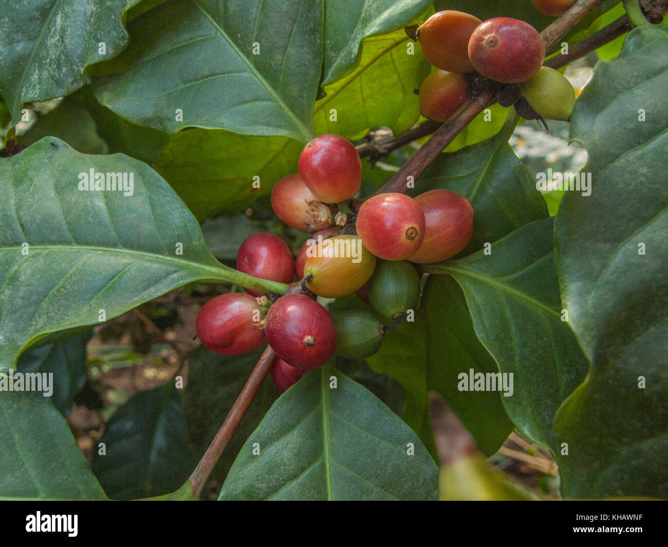 Foliage and berries of the Arabian Coffee plant (Coffea arabica). - Stock Image