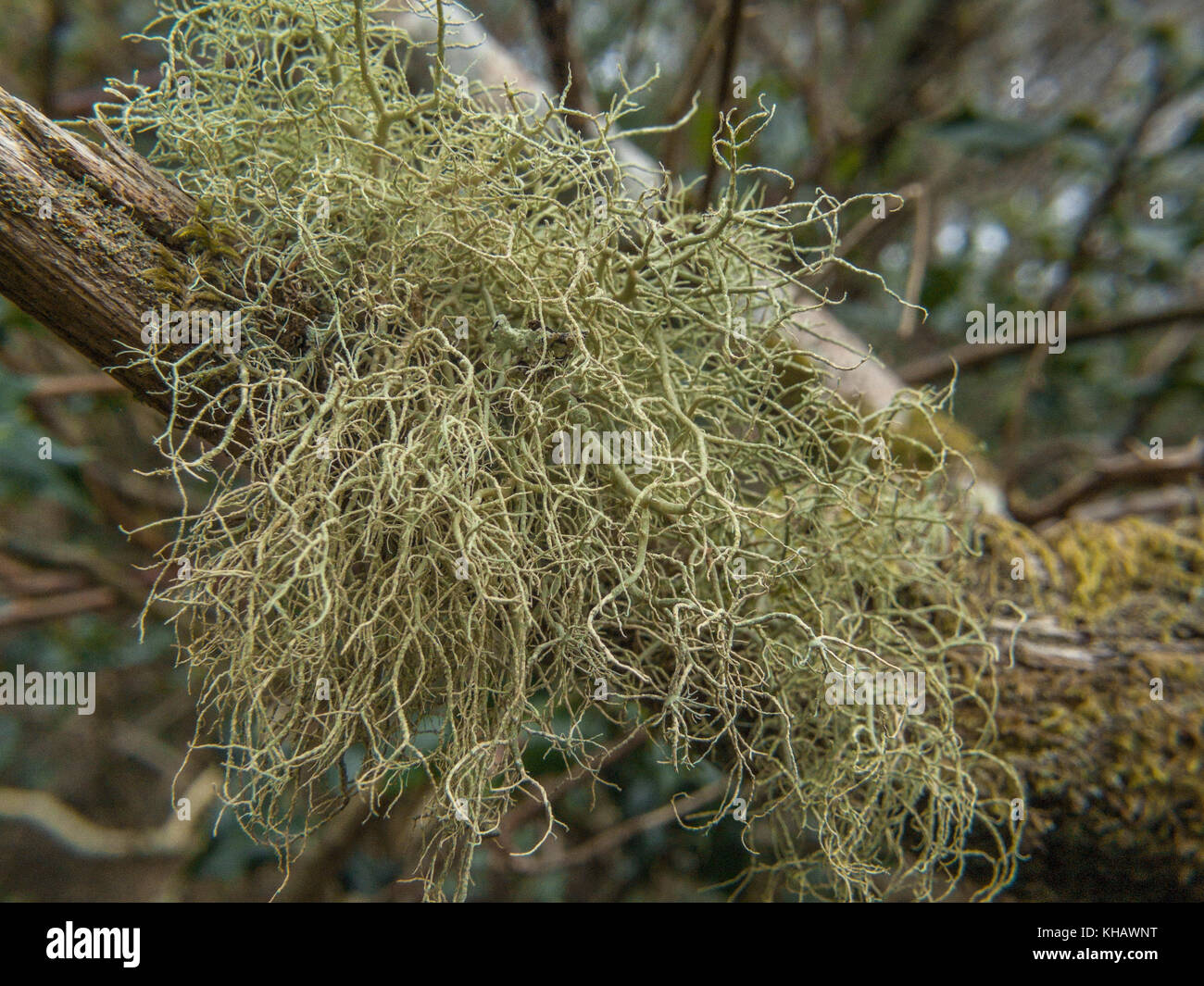 Some form of whispy green lichen on a tree branch. Unidentified. - Stock Image