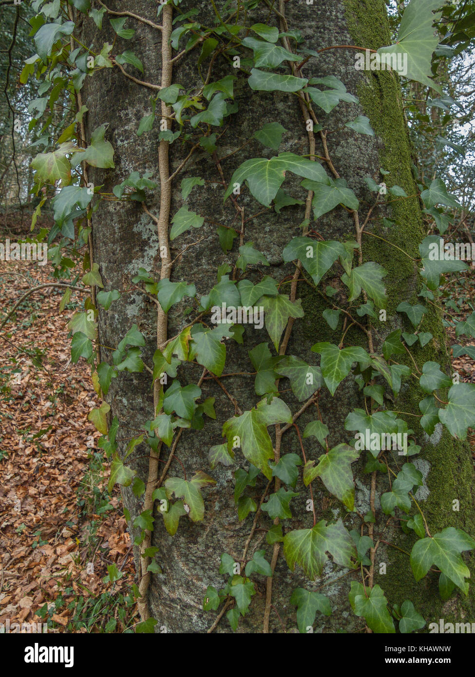 Vines of Ivy (Hedera helix) smothering the trunk of a host tree. - Stock Image