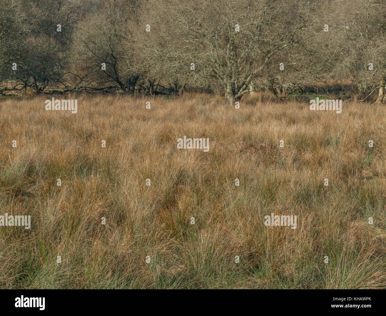 Area of marshy ground in the autumn - grasses and Juncus Rush (Juncus effusus) dying back to give the area its characteristic - Stock Image