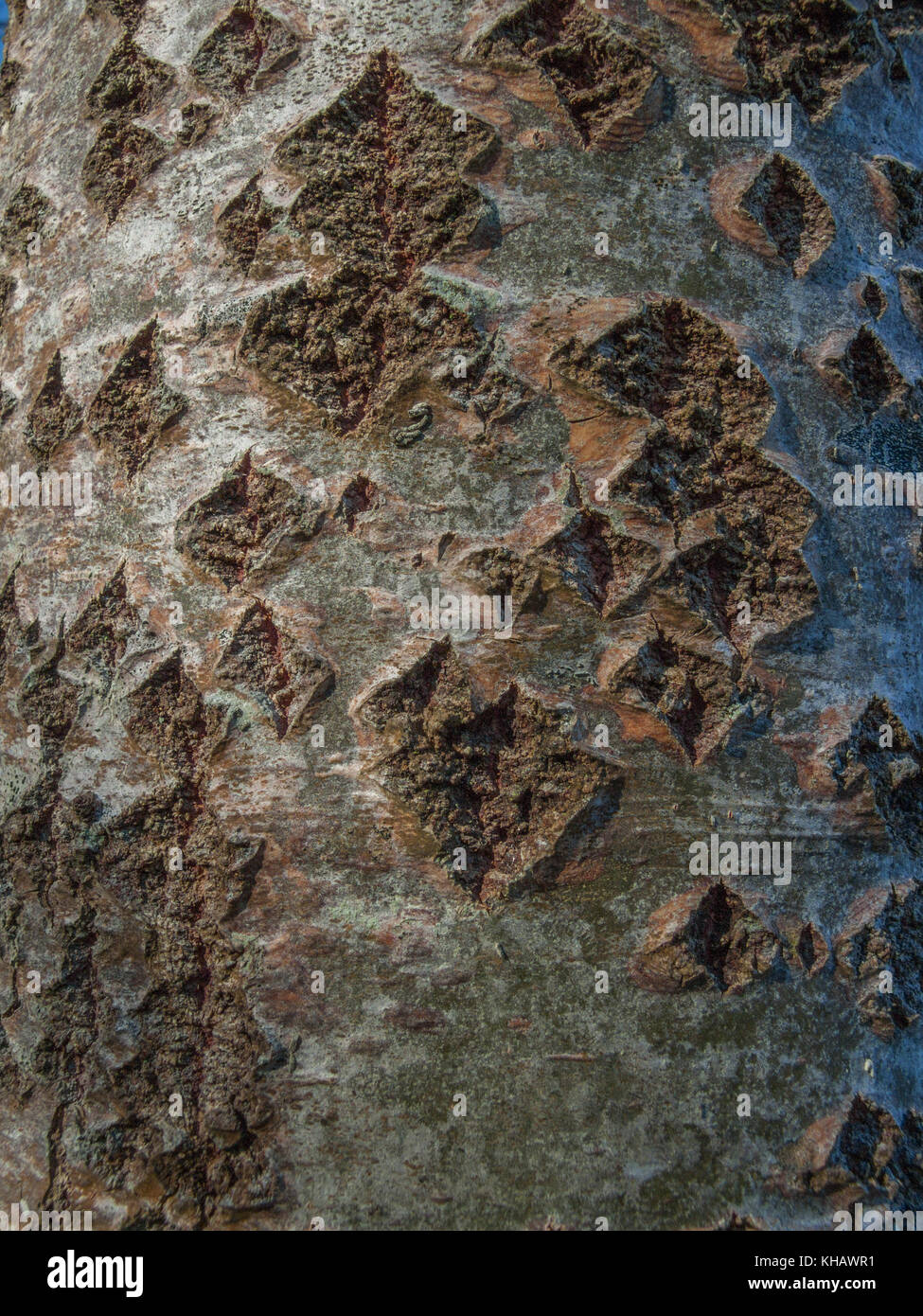 Close-up of White Poplar (Populus alba) bark with somewhat diamong-shaped pores. - Stock Image