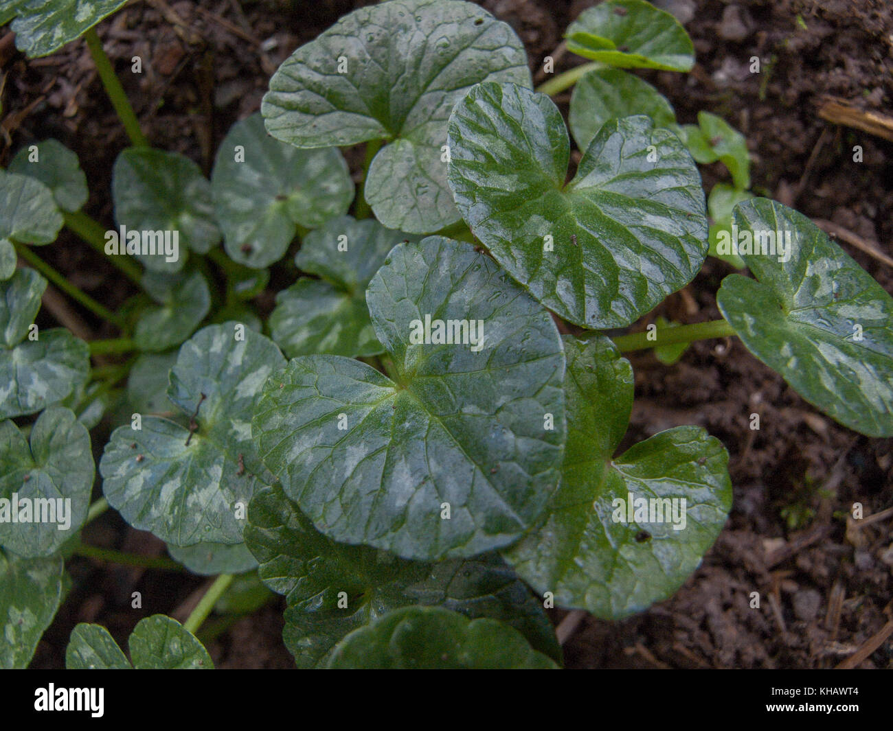 Leaves of Lesser Celandine (Ranunculus ficaria). Root bulb shape gave rise to name of Figwort. - Stock Image