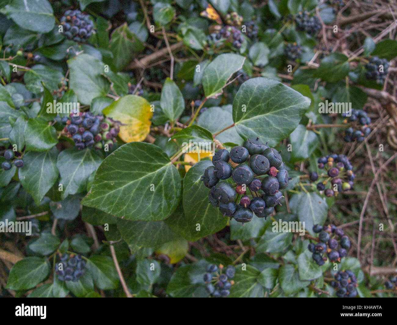 Close-up image of purple-black berries of Ivy (Hedera helix). - Stock Image