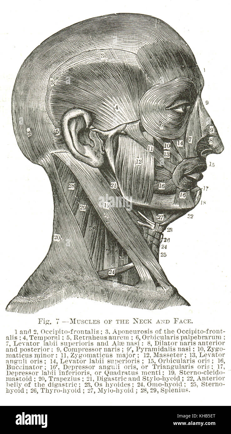 Muscles of the Face and Neck, 19th century illustration - Stock Image
