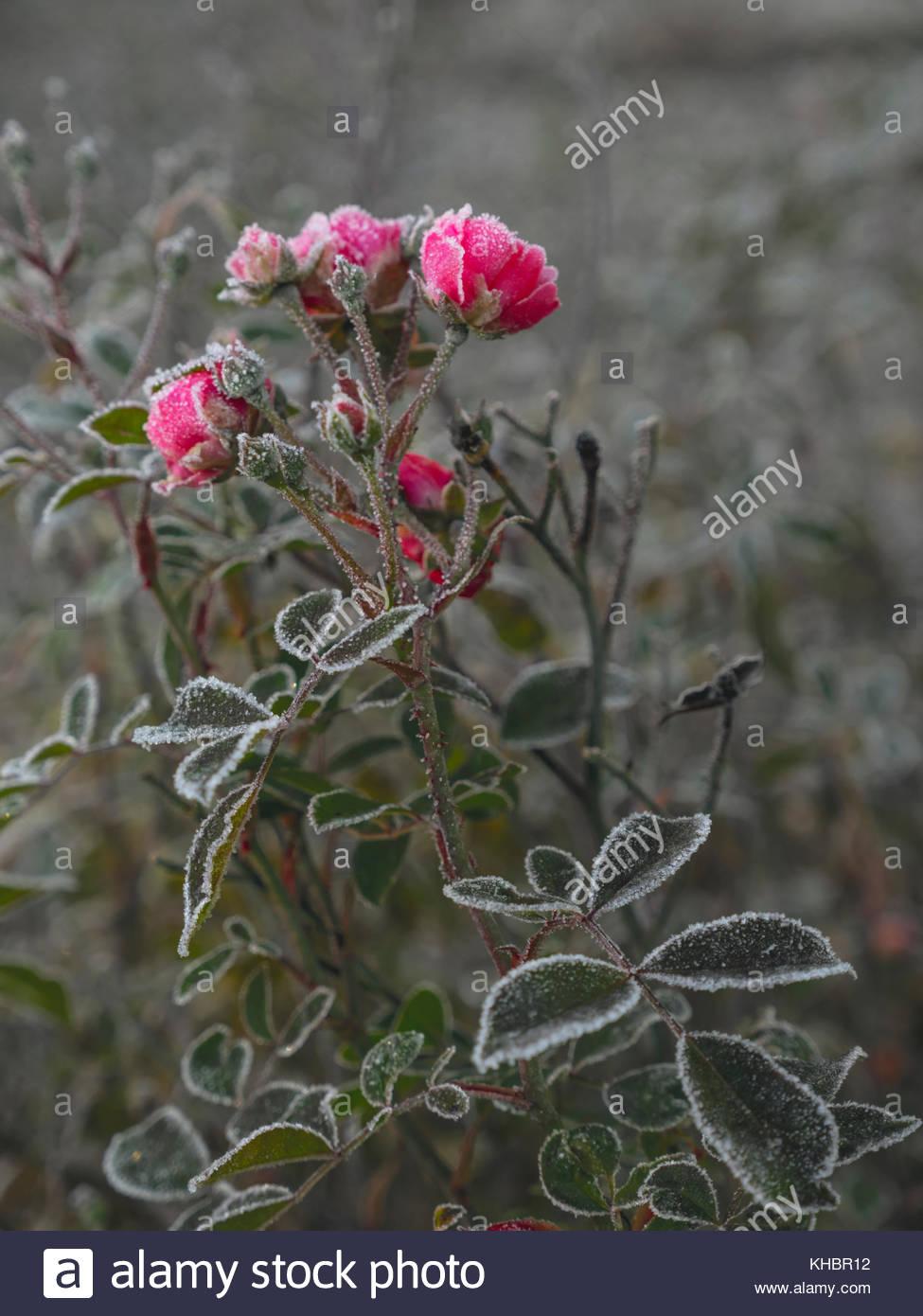 Frozen pink roses in a garden, pre-winter in Northern Europe, Scandinavia, Sweden - Stock Image