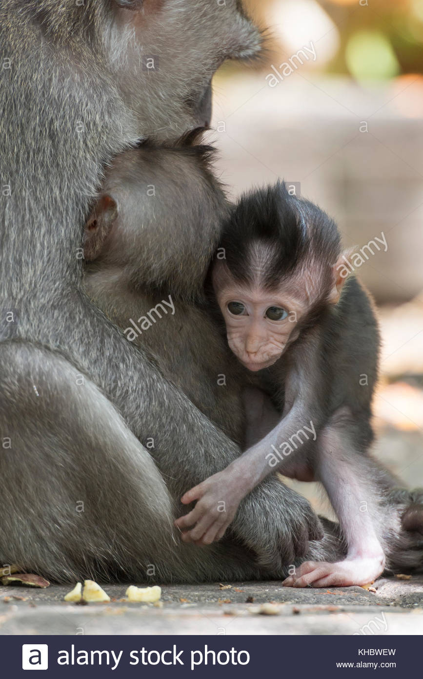Shy baby macaque (macaca fascicularis) hiding in its mothers arms in the Sacred Monkey Forest Sanctuary in Ubud, - Stock Image