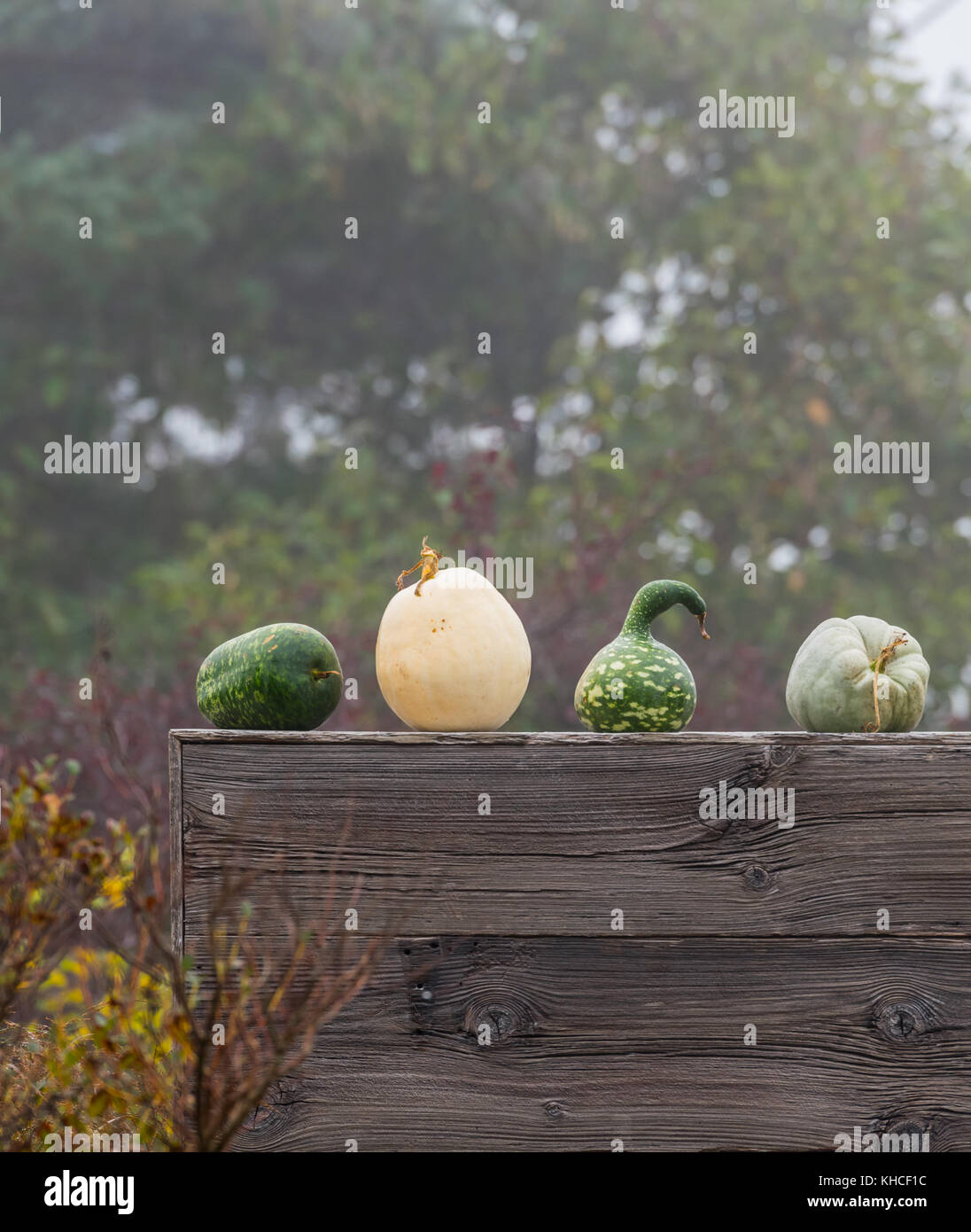 Green Heirloom Squash on wooden Wall vertical - Stock Image