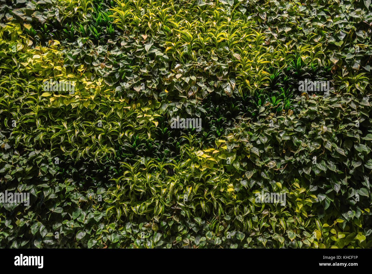 Green Wall Planting with subtle variation across wall - Stock Image