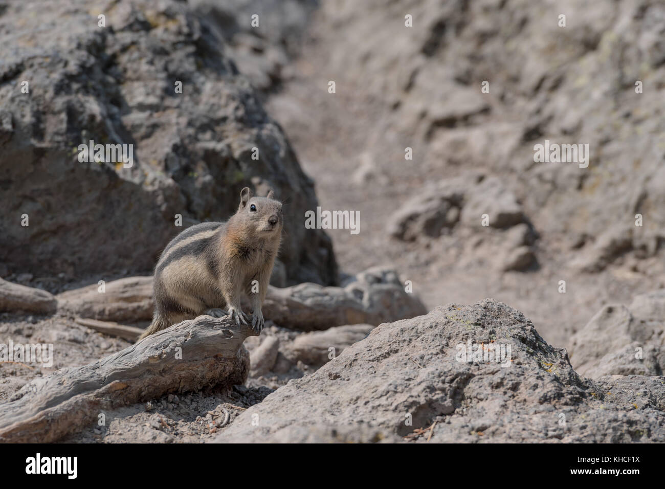 Ground Squirrel On Dusty Trail with copy space to right - Stock Image