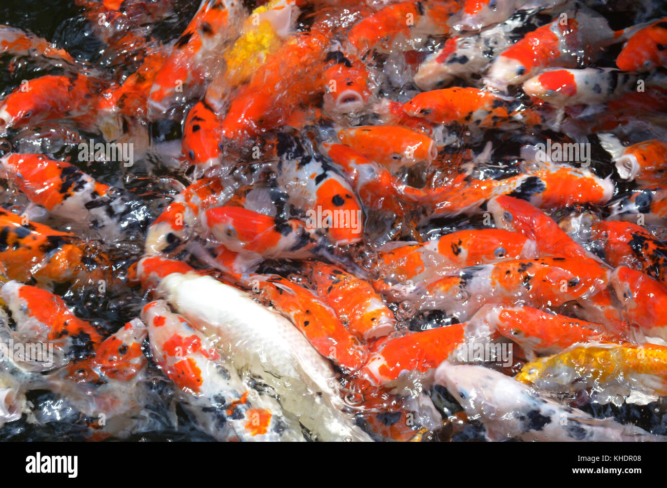 Colored carp stock photos colored carp stock images alamy for Koi fish family