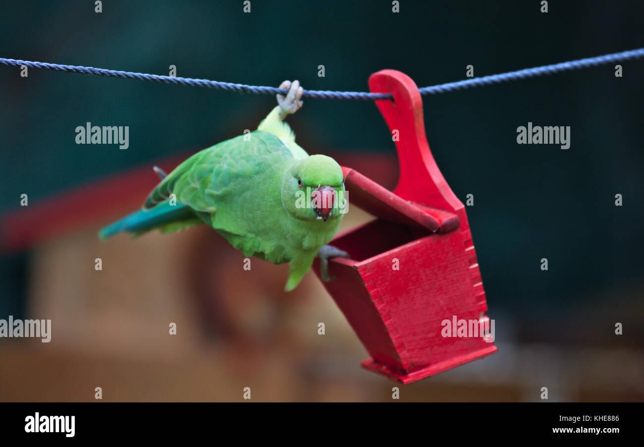 female-rose-ringed-parakeet-psittacula-k