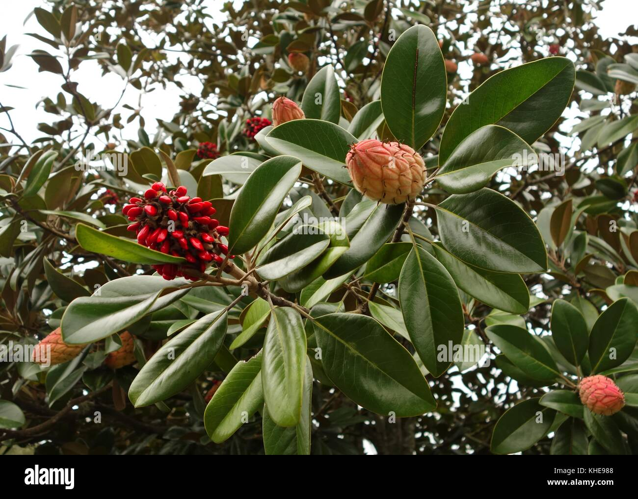 Magnolia tree leaves, seed pods and red seeds in Florida, USA Stock Photo