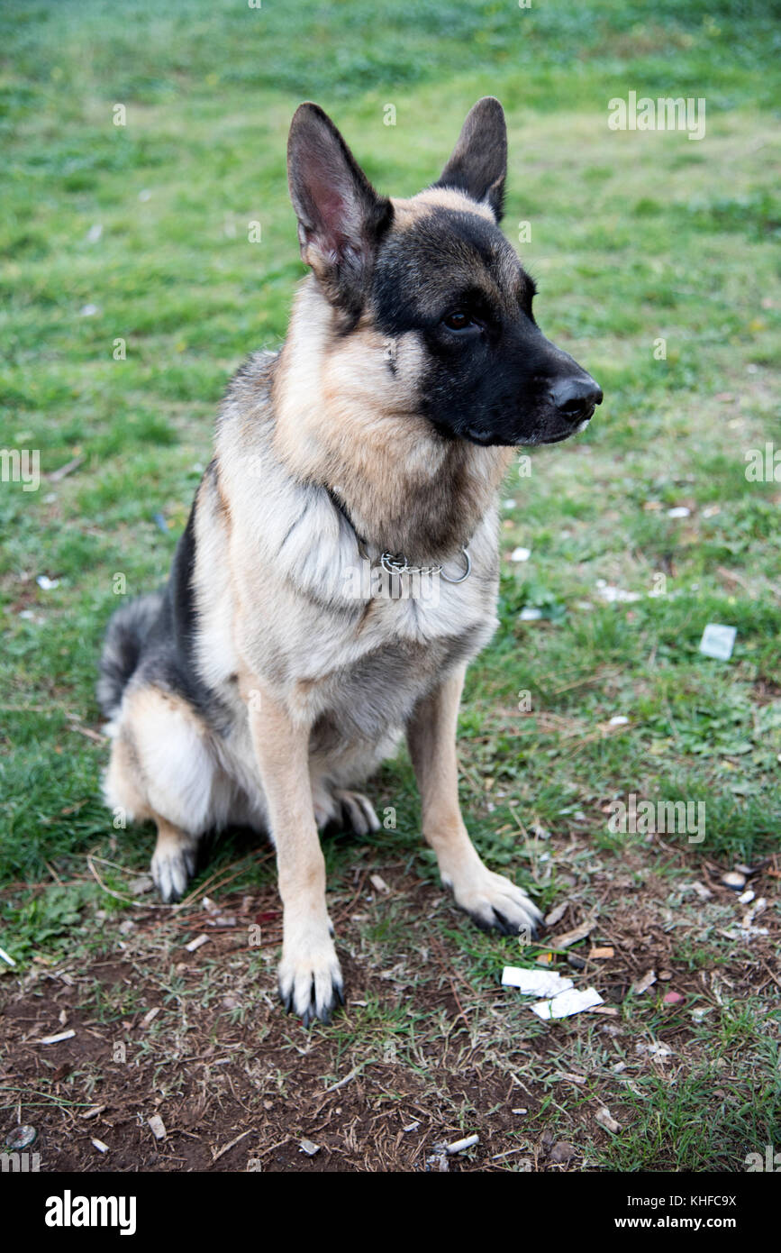 Portrait of an German shepherd dog relaxing at the Parco degli acquedotti located in Rome - Stock Image