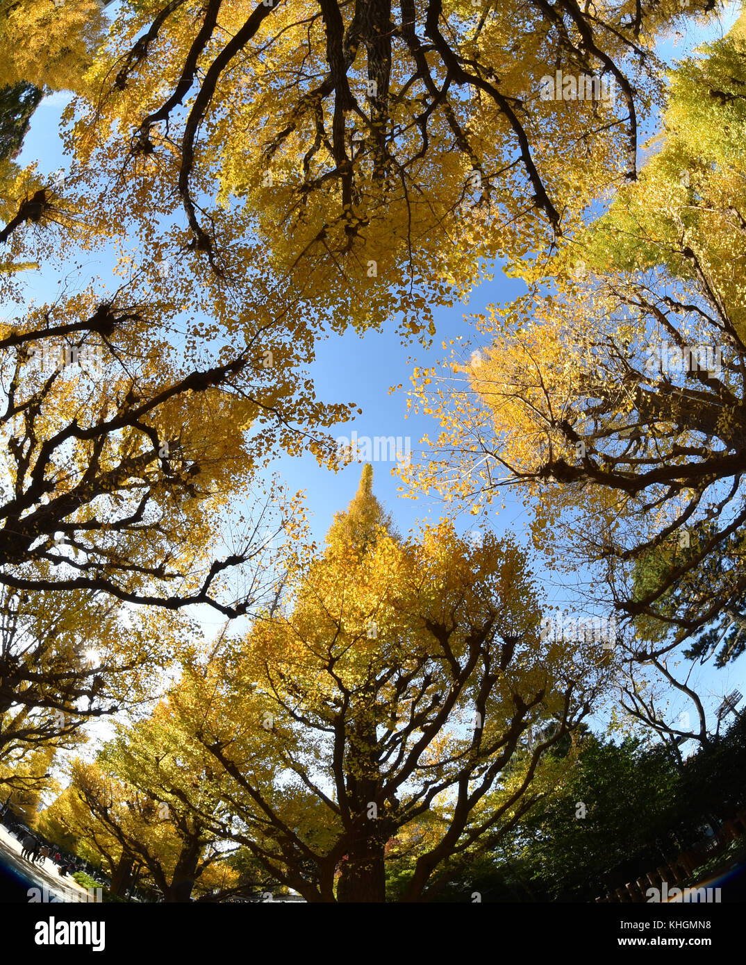 Tokyo, Japan. 17th Nov, 2017. Rows of trees with bright yellow ginkgo leaves strike brilliant contrast against the - Stock Image