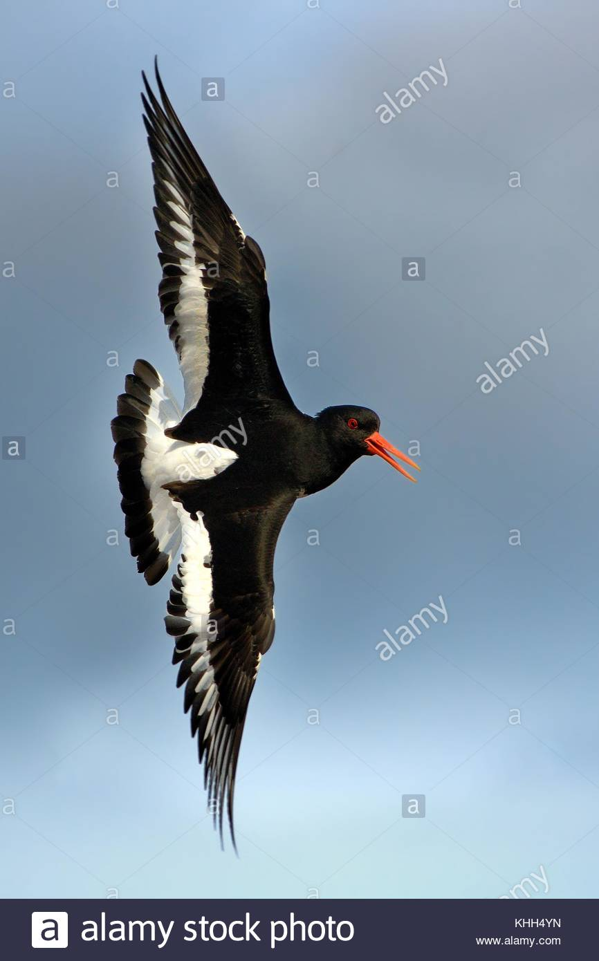 Europian Oystercather (Haematopus ostralegus) flying in Norway. - Stock Image