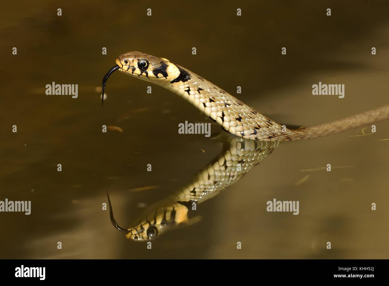 The grass snake (Natrix natrix) swimming aceoss the little lagoon and lifting up it´s haed. Snake in - Stock Image