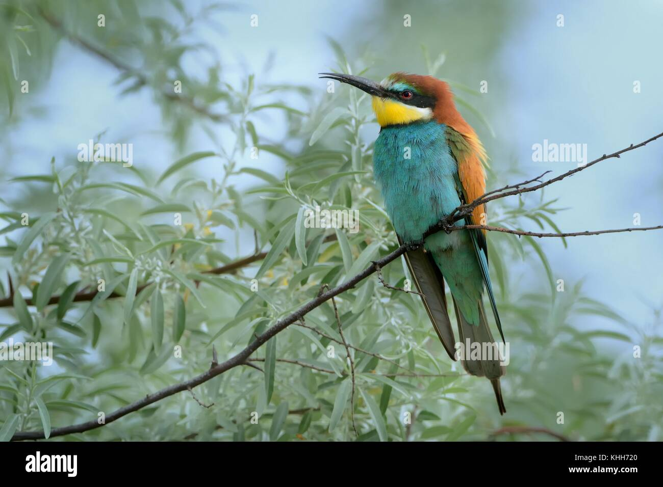 European Bee-eater (Merops apiaster) perched on a willow branch. - Stock Image