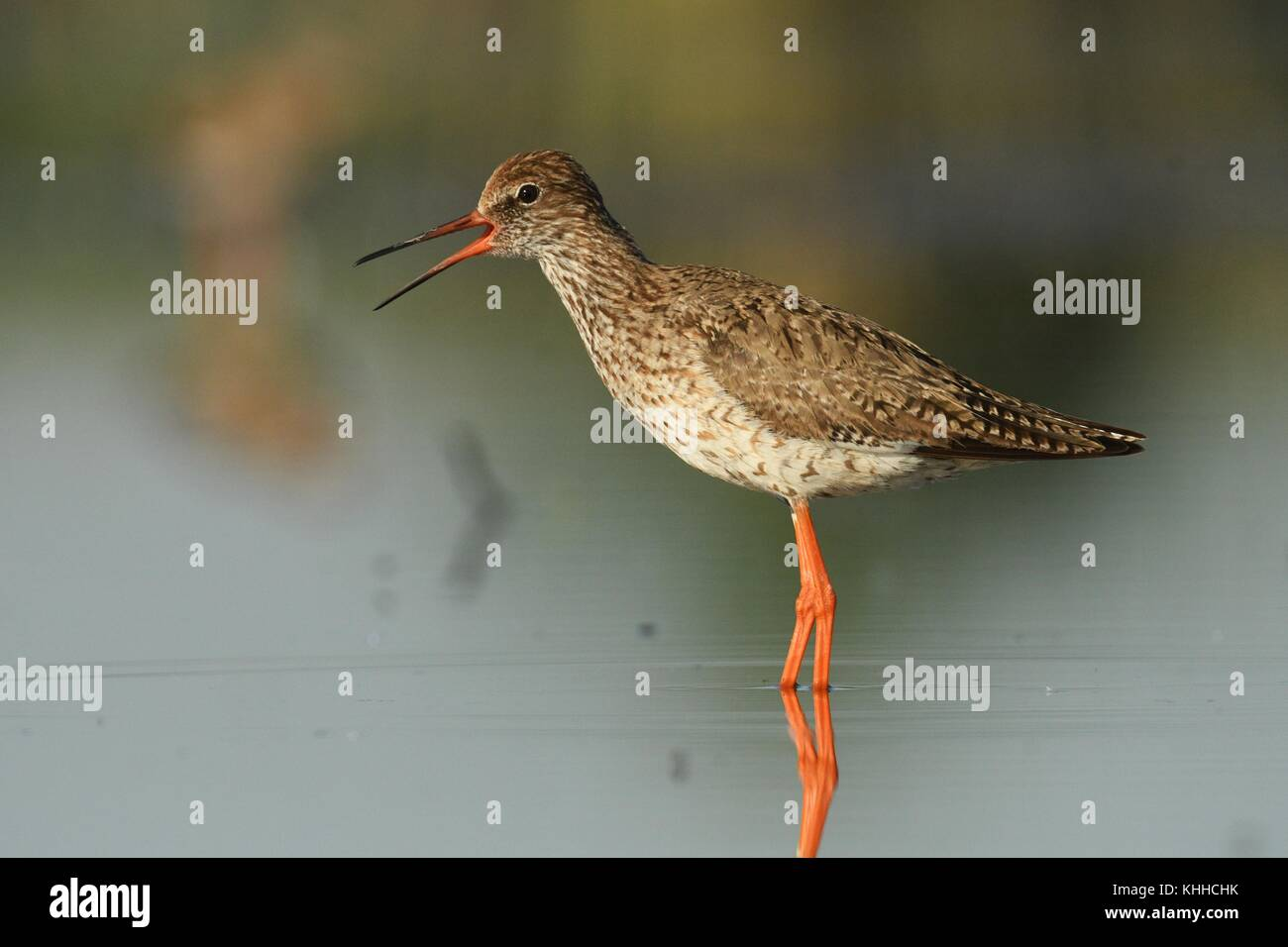 Common Redshank (Tringa totanus) standinf in a shallow water and calling. - Stock Image