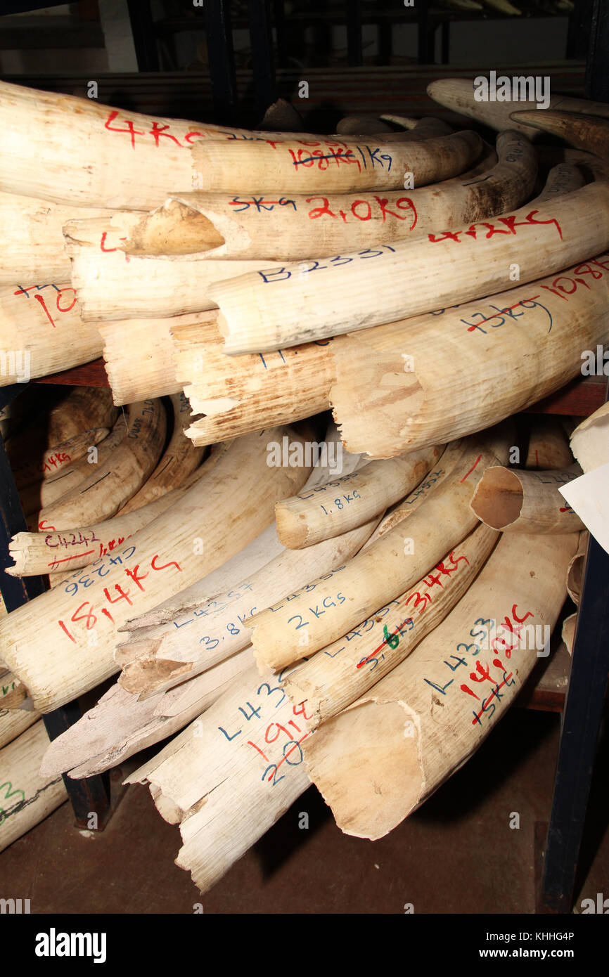 HARARE, ZIMBABWE -  12 October 2011:  Documented ivory stored at the Parks & Wildlife headquarters in Harare. - Stock Image